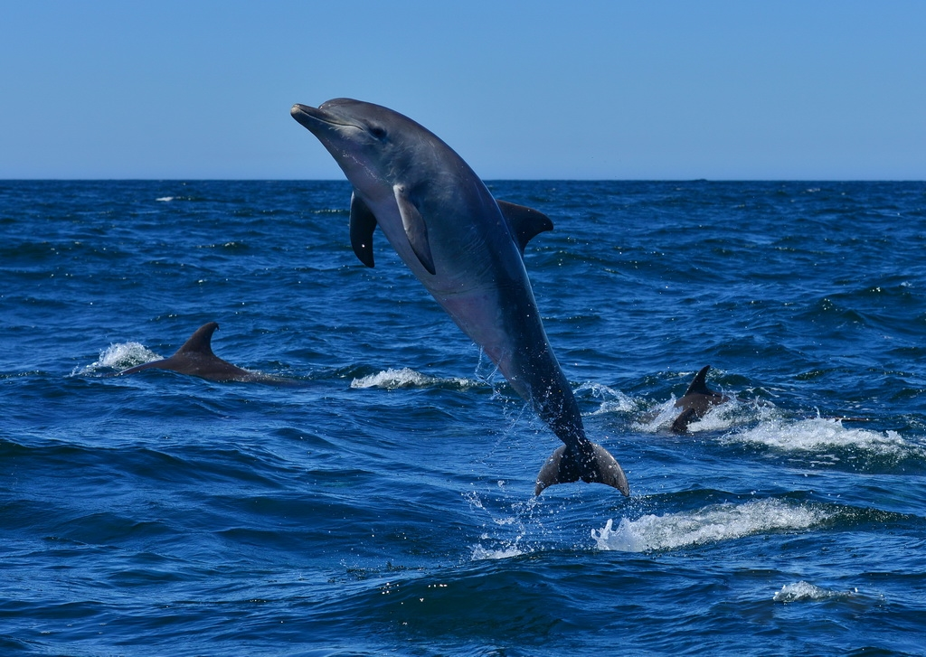 pics of a bottlenose dolphin impremedianet