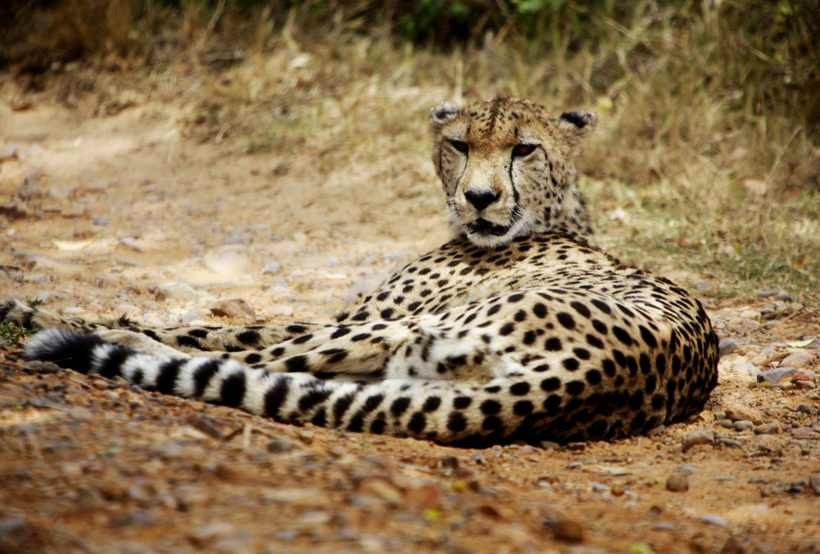 Cheetah at Kragga Kamma