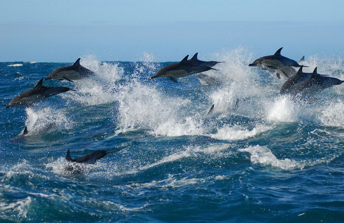 Dolphins in Algoa Bay Port Elizabeth - Photo by Raggy Charters