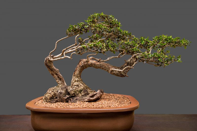 South African Bonsai Association Bonsai Convention